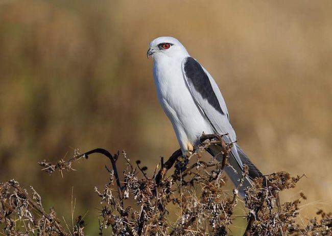 Самець годує самку, а вона відриває невеликі шматочки м`яса і віддає їх пташенятам.