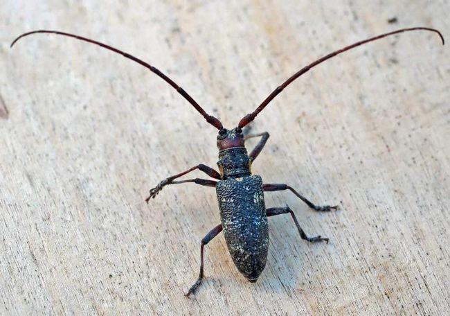 Чорний вусань (Monochamus).