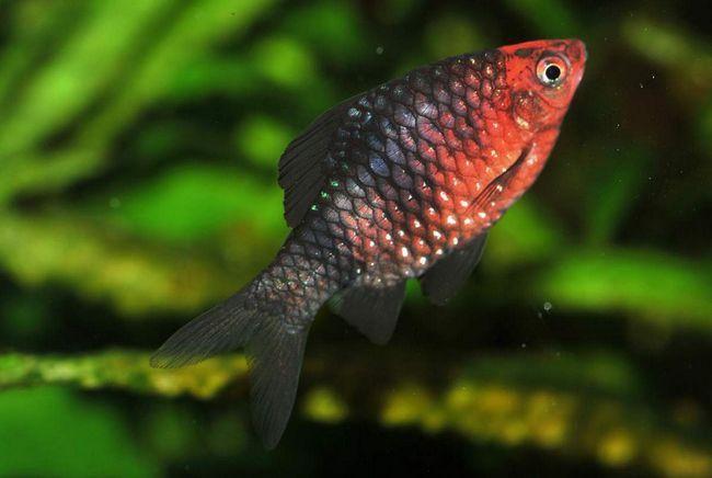 Чорний барбус: поради по утриманню аквариумного вихованця