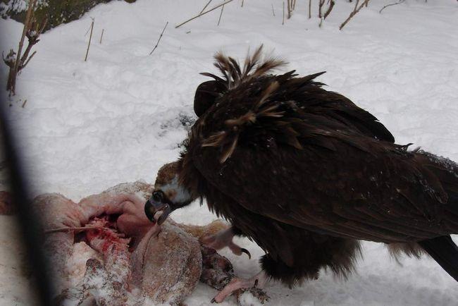 Чорний гриф не тільки хижак, але і падальник