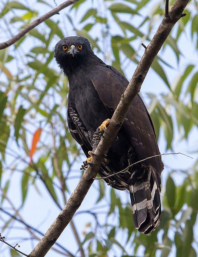 Орел тирана (Spizaetus tyrannys) або чорний яструб