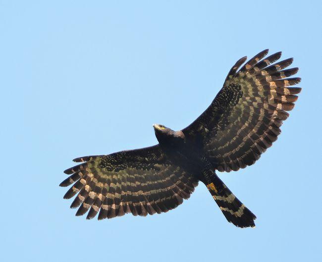 Чорний яструб - орел мешкає під пологом лісу