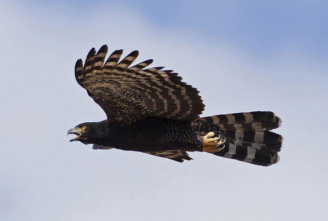 Чорні орли - яструби полюють в основному на птахів і ссавців