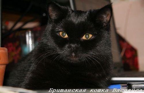 британські кошенята чорного забарвлення