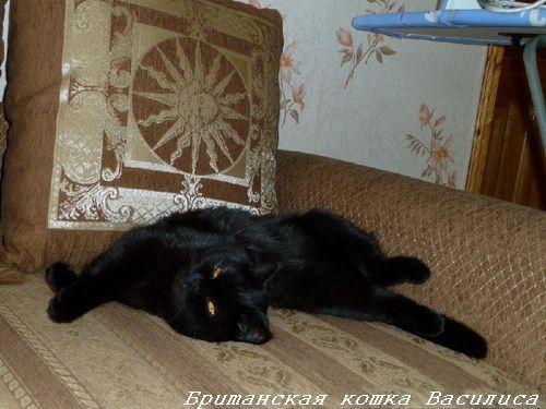 чорні британські кошенята