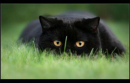 чорний британський кіт фото