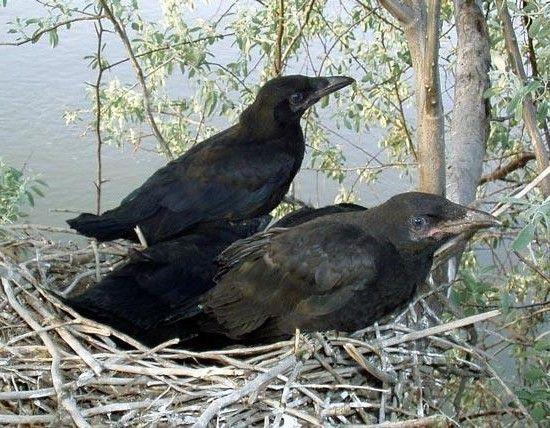 Ворони - дуже віддані і вірні птиці. Як і лебеді, вони створюють пару на все життя