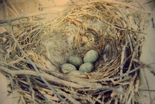 У кладці ворони 5, рідше 7 яєць. Батьки разом висиджують і вигодовують потомство
