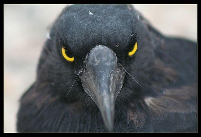 А ще чорний ворон символ мудрості. Напевно термін життя в 200 років дозволяє накопичити птиці досить розуму і знань
