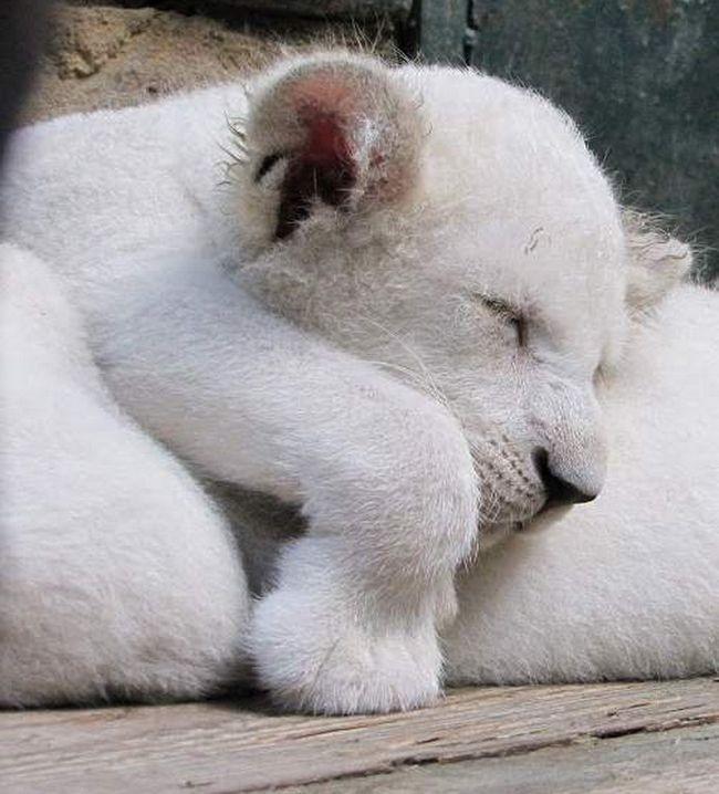 Чотири білих левенят народилися у Криму.