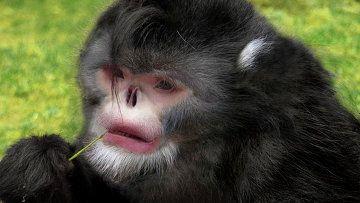 кирпата мавпа Rhinopithecus strykeri