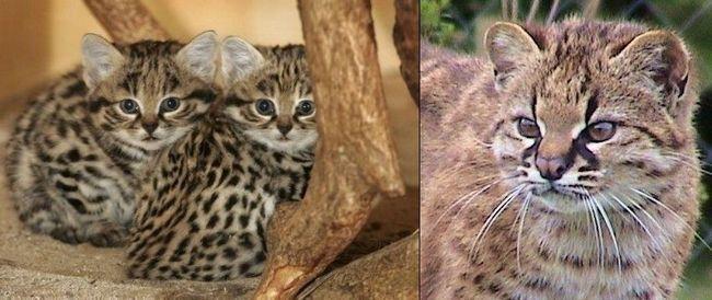 Чилійська кішка, або кодкод (лат. Leopardus guigna)