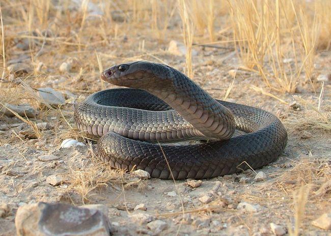 Чорна кобра (Walterinnesia aegyptia)
