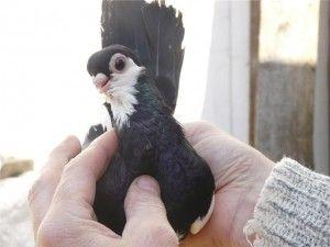 Чорно-рябий турман (голуби)