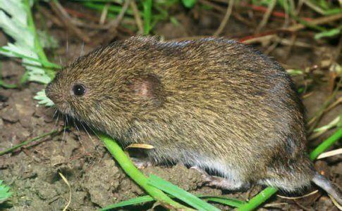 На фото Миша-полівка в траві