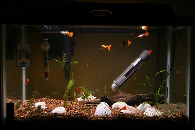Гуппі в просторому акваріумі.