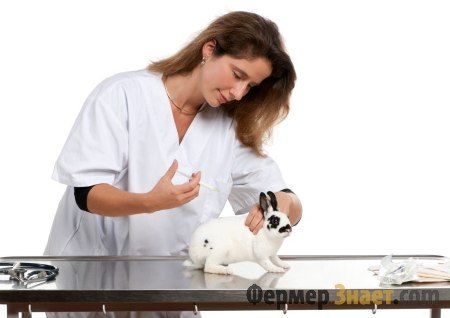 Ветеринар робить кролику вакцінауію проти ВГБК