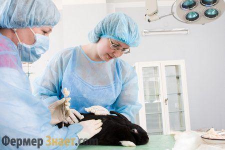 Щеплення кролика від вірусної геморагічної хвороби