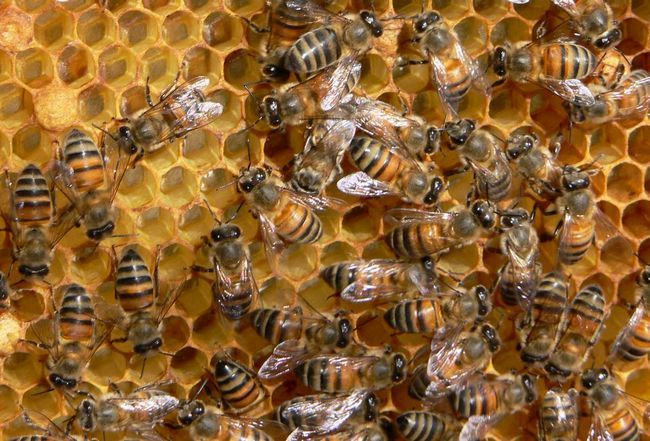 Бджоли харчуються пилком рослин.