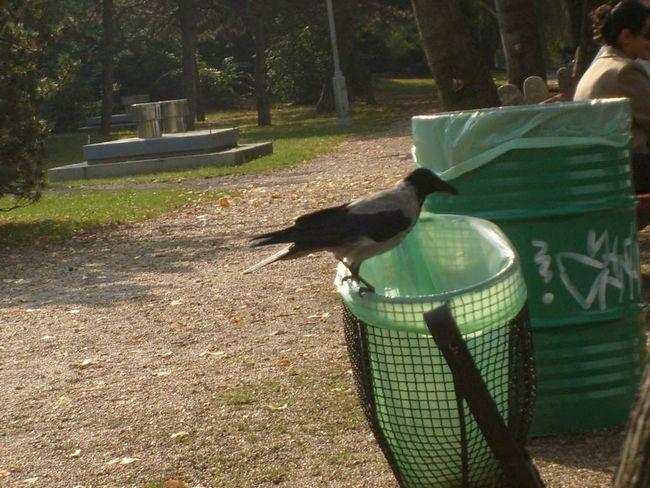 Міська смітник: для ворони є чим поживитися і тут!