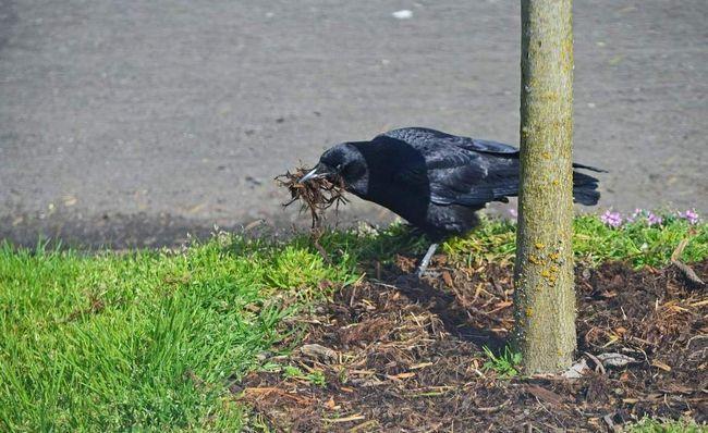 Цього разу вороні дісталися тільки гілочки для будівництва гнізда. Що ж, не завжди улов буває вдалим!