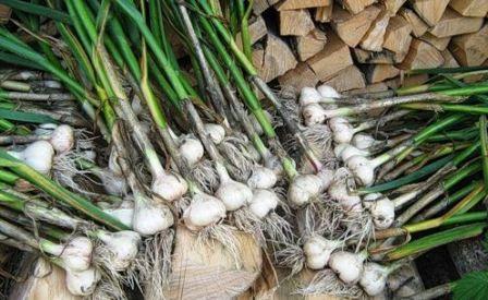 Що можна садити після цибулі та часнику, таблиця сівозміни.