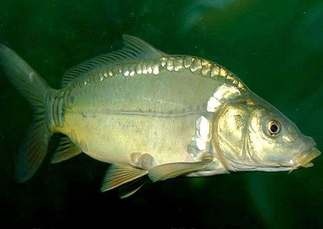 Короп - риба, що належить до довгожителів.