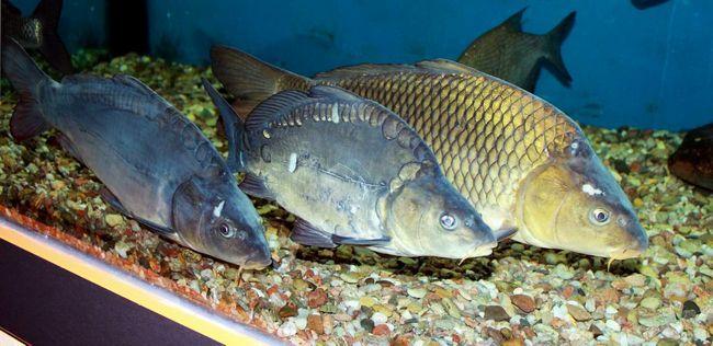 Короп - риба надзвичайно смачна.