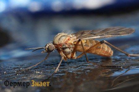 Комарі можуть бути переносниками миксоматоза
