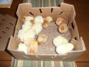 Фото курчат в коробці
