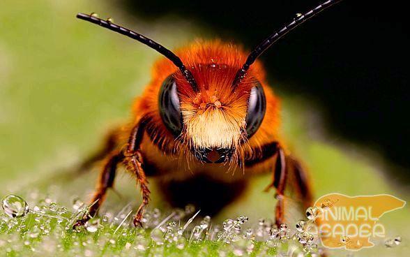 Медоносних бджіл.