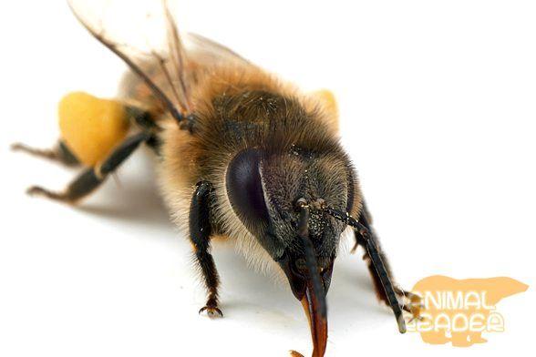 Бджола - дивна тварина.