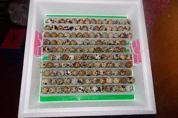 Закладка перепелиних яєць в інкубатор