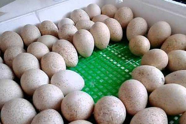 Закладка курячих яєць в інкубатор