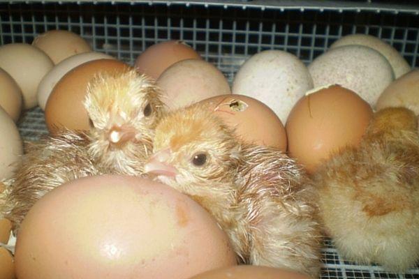 Курчата, виведені в домашньому інкубаторі