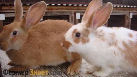 Що слід знати про спарюванні кроликів