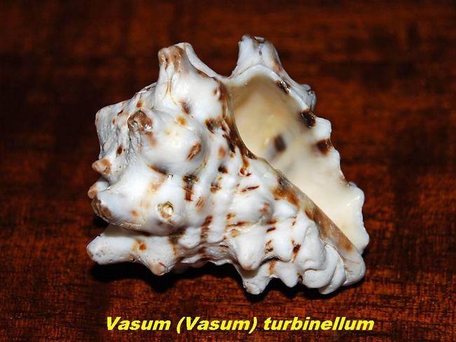 раковини молюсків
