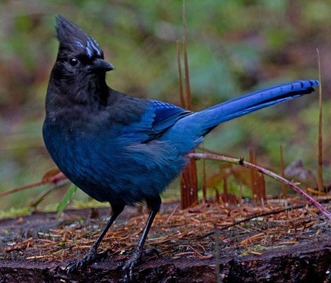 Блакитна сойка чубата (Cyanocitta stelleri).