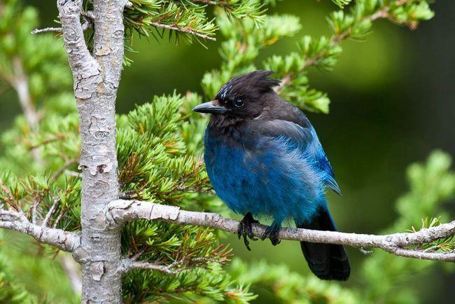 Блакитна сойка чубата населяє лісисті гірські схили і світлі соснові гаї.