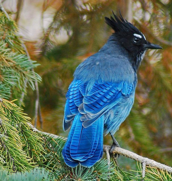 Чорноголові чубаті сойки - вкрай цікаві пташки. Жодна подія в лісі не залишиться поза їхньою увагою.