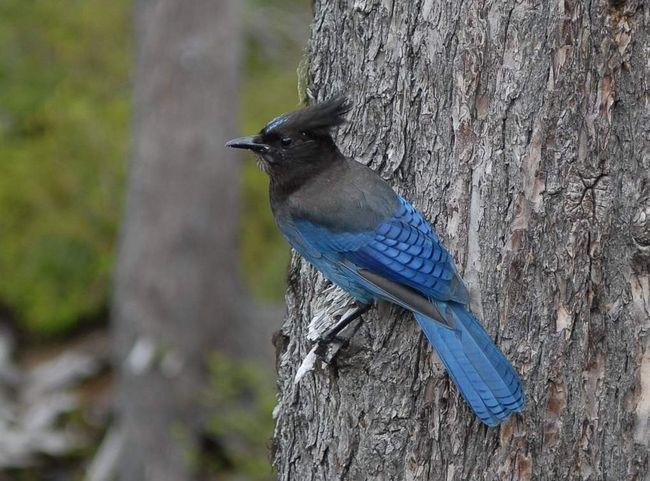 Блакитних чубатих сойок часто тримають в неволі, як домашніх птахів.