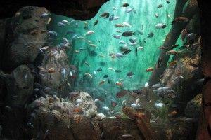 Цихліди озера малаві