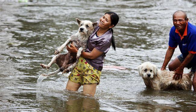 порятунок домашніх тварин від повені в Таїланді