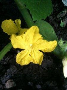 Цвітіння огірків фото