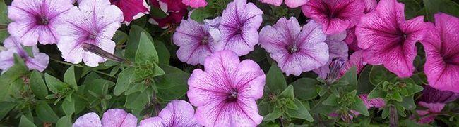 Квітник з петунії - вирощування розсади і посів насінням