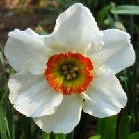 Квітка нарцис