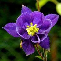 Квіти аквилегия