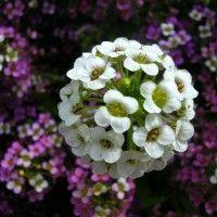 Квіти аліссум