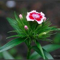 Квіти дворічники