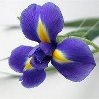 Квіти іриси